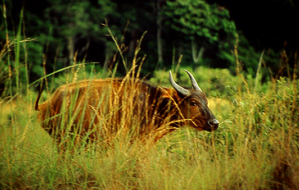 Animals wild gabon forest buffalo photopage htm
